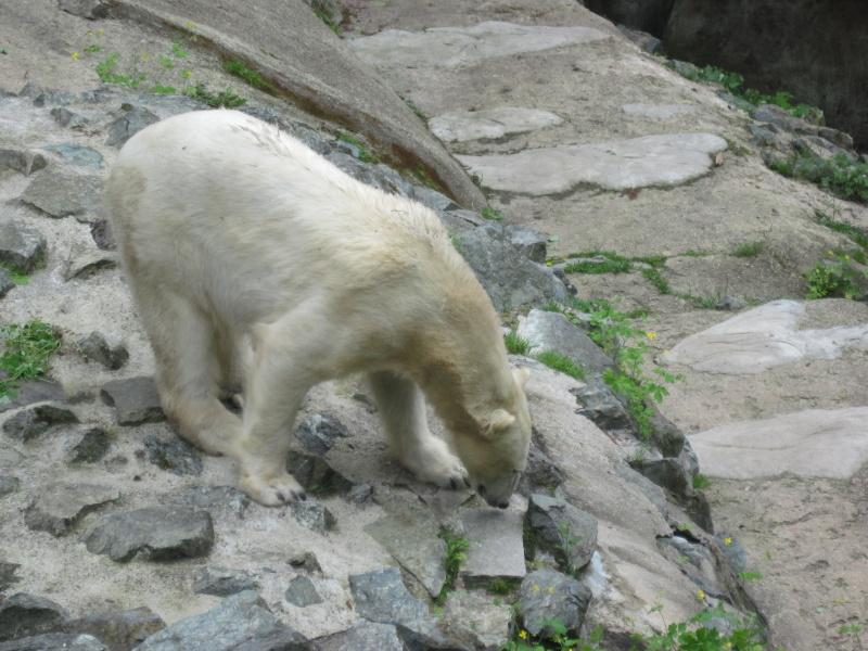 Lední medvěd v brněnské ZOO